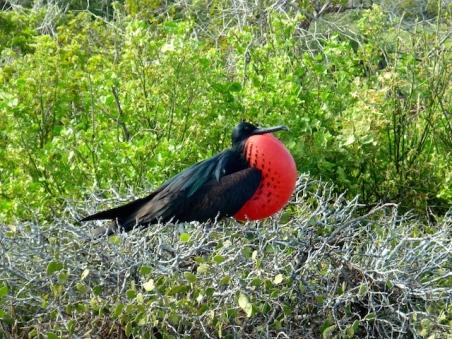 Frigate Bird - North Seymour