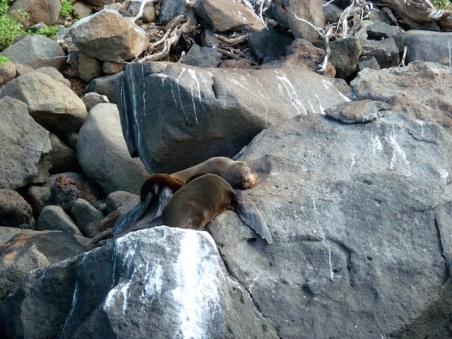 Fur Seals! -The Beagle