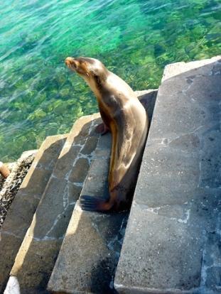 Shark Surviving sea lion - check the bite mark!