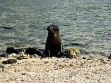 Baby Sea Lion! - Sombrero Chino