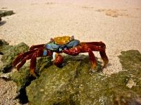 Coolest Crab - Cerro Dragon, Sta Cruz