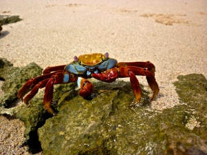 Coolest Crab - Cerro Dragon, Sta Cruz
