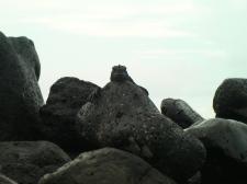Marine Iguanas on Santa Cruz