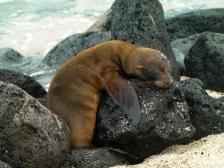 Baby Sea Lion on Santa Cruz