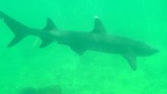 White tip reef shark! - Isabella