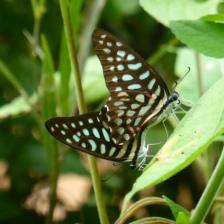 Butterflies - Siem Reap
