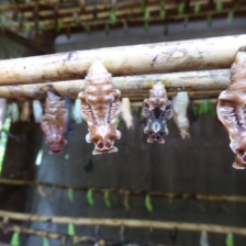 Freaky Cacoons! - Siem Reap